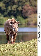 claro,  tapir
