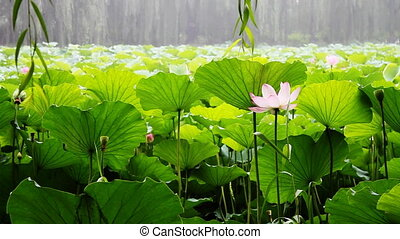 waterlily_1 - water lily in a pond .