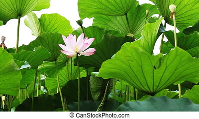 waterlily_3 - water lily in a pond .