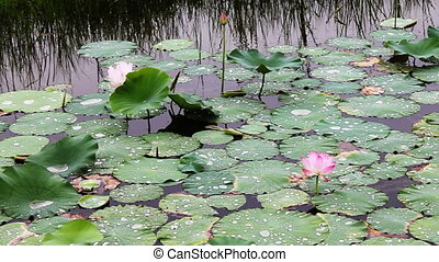 waterlily_5 - water lily in a pond .