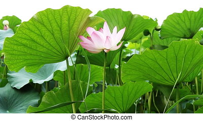 waterlily_4 - water lily in a pond .