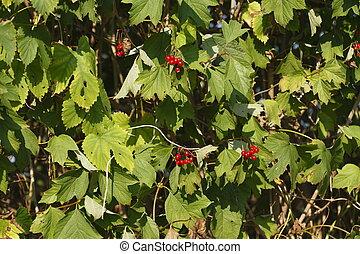 Rote Johannisbeeren - frische Rote Johannisbeeren an einem...