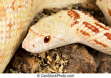 Snake eyes - Detail of the head of a beautiful female adult...