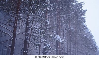 Snowfall in coniferous forest, snow falling from trees...