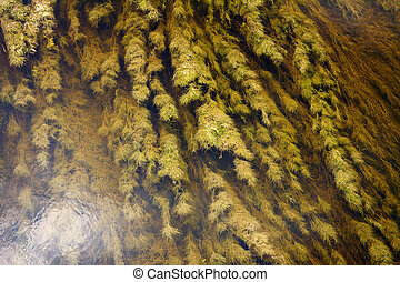 River surface texture - Water plants, green grass weed,...