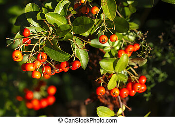 Beeren - Feuerdornbeeren