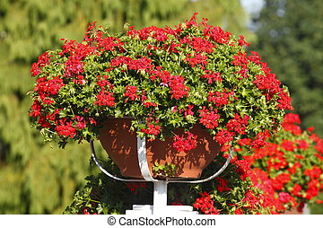 flower pot with geranium flowers