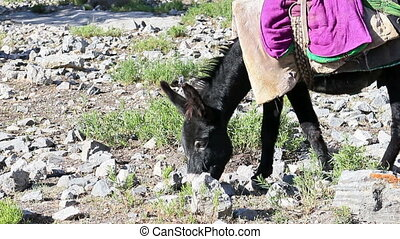 Donkey eating grass. Tajikistan