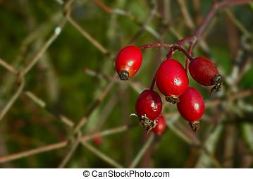 Macro of red rosehips
