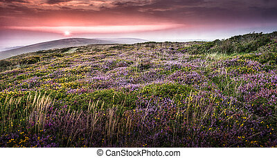 Gower sunset at Cefn Bryn - Sunset over wild heather on the...