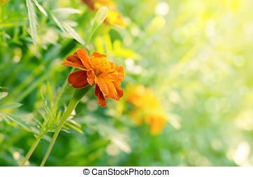 Tagetes summer time - Tagetes flowers closeup against...
