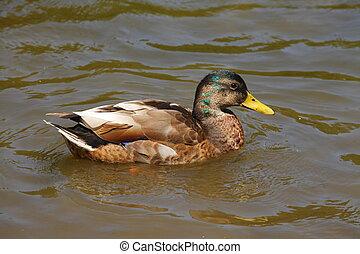 Schwimmende Stockente im Wasser - Ente in einem Parkteich ,...