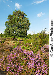 heather landscape - Purple heather landscape with tree at...