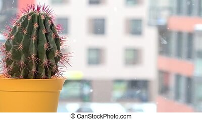 Red thorn cactus in yellow pot on window sill and snowflakes snow fall outdoor