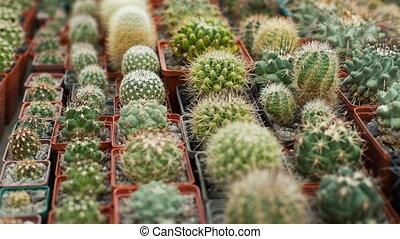 Many home cactuses - Many cactuses at Cactus farm