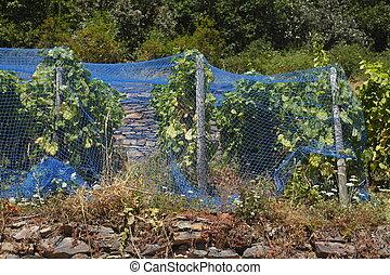 Weinberg mit Weinreben und blauen Schutznetzen