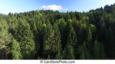 Aerial view. Tops tall fir trees on mountainside