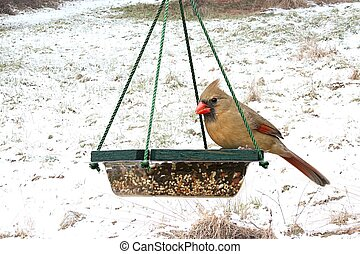 Female Northern Cardinal (Cardinalis) on a feeder in snow