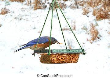 Male Eastern Bluebird on a Feeder - Male Eastern Bluebird...