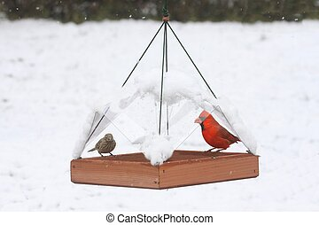Birds on a Feeder in Snow - Northern Cardinal (Cardinalis)...