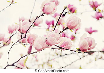 Flowers of magnolia tree in springtime - Flowers of magnolia...