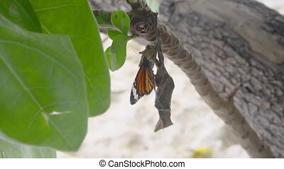Monarch butterfly eating - Monarch butterfly -Danaus...