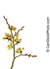 Hazel tree twig with seeds - Hazel tree twig with seed pods...