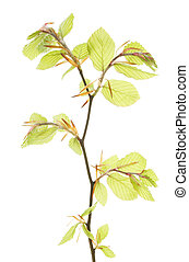 Fresh Spring leaves - Fresh Spring hazel tree leaves