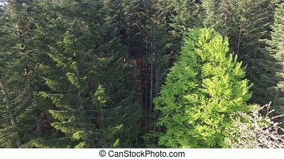 Wind shakes the branches high spruces. Aerial view - Wind...