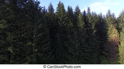 Rising above the high pine trees. Aerial view - Rising above...