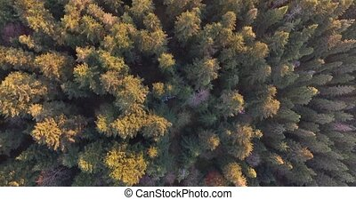 Sunset rays touched the tops of tall spruces. Aerial view