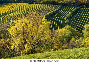 Vineyard on a Hill in Autumn