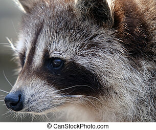 Raccoon - Close-up portrait of a wild raccoon