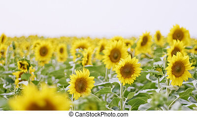 Flowering sunflowers at cloudy day, wide angle