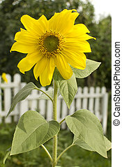 Sunflower. Helianthus annuus - Beautiful yellow Sunflower...