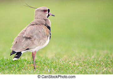 Southern Lapwing (Vanellus chilensis). - Southern Lapwing...