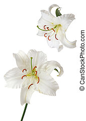 lily Casablanca - white lily Casablanca isolated on white...