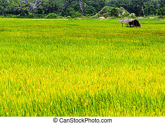 Green paddy rice fields