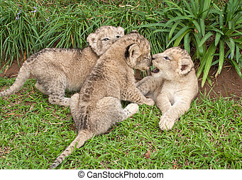Three Lion babies playing in a park, South Africa