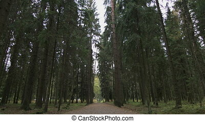 bottom view of pine trees - Pine trees swaying in the wind....