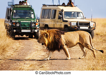 Big lion crossing the road at African savannah - Portrait of...