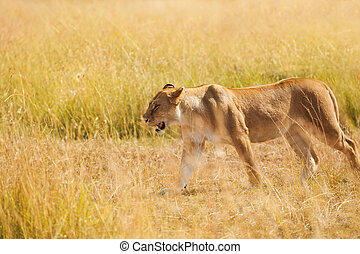 Portrait of lioness hunting in the nature habitat