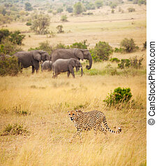 African cheetah hunting at great spaces of savanna