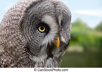 Great Grey Owl or Lapland Owl or Strix Nebulosa