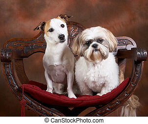 Jack and shih-tzu - Two small dogs posing, a jack russel and...