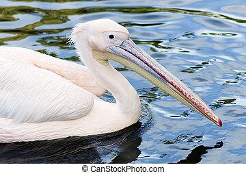 animal portrait of pelican - Animal portrait of pelican in...