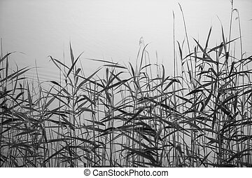 Reed against water, black and white photography