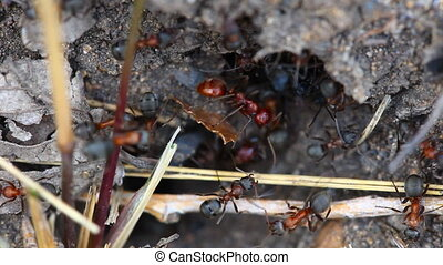 Ants nest. Macro. - Clear the nest red ants working,...