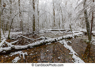 Winter landscape of natural forest with dead oak trees -...
