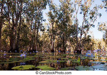 Mangrove forest in water with Lotus flowers - Mangrove trees...